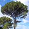 Pinus pinea picture